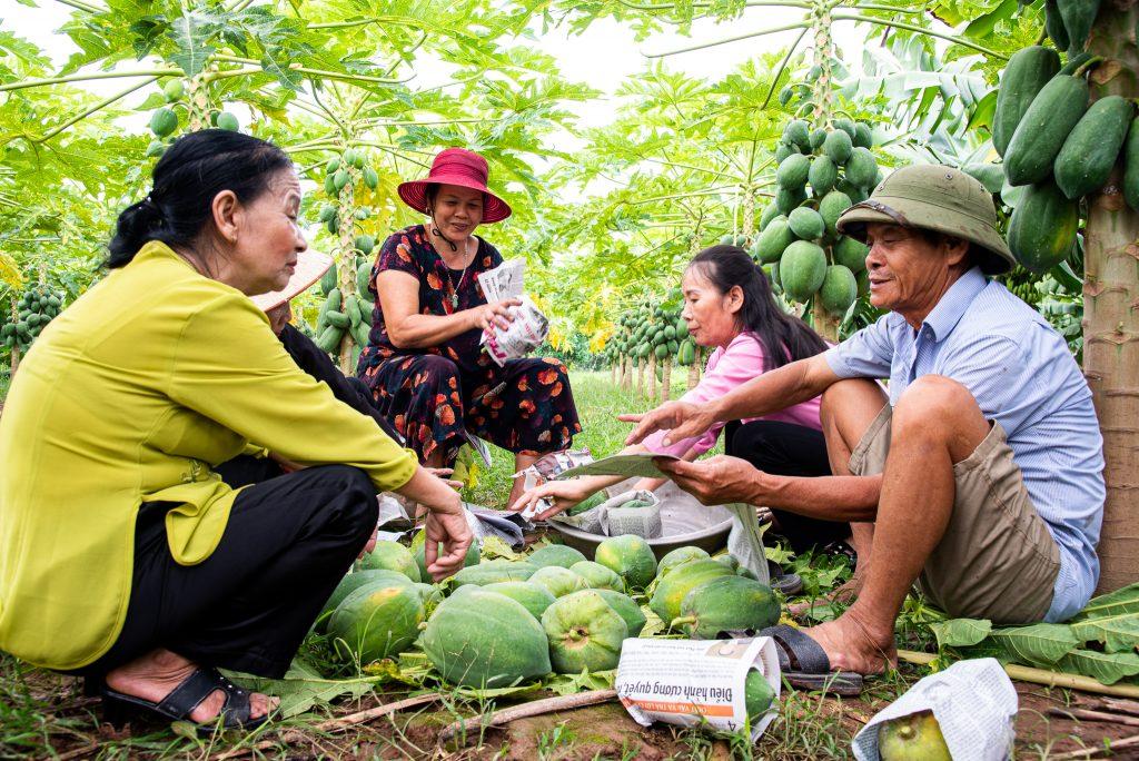 Hanoi_Lay village_growing papaya